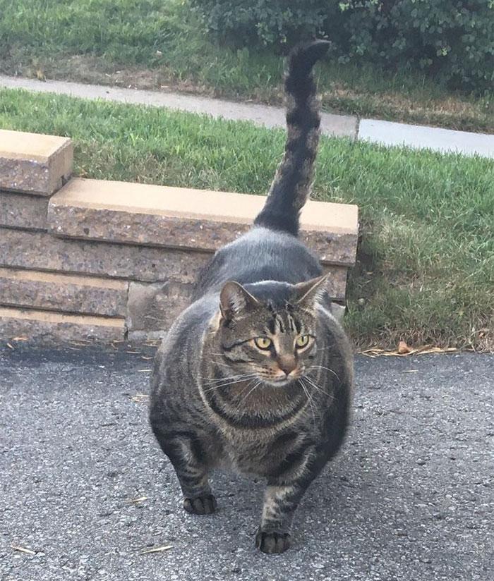 muscly-feline-buff-cat-canada-5b10f7987c50f__700