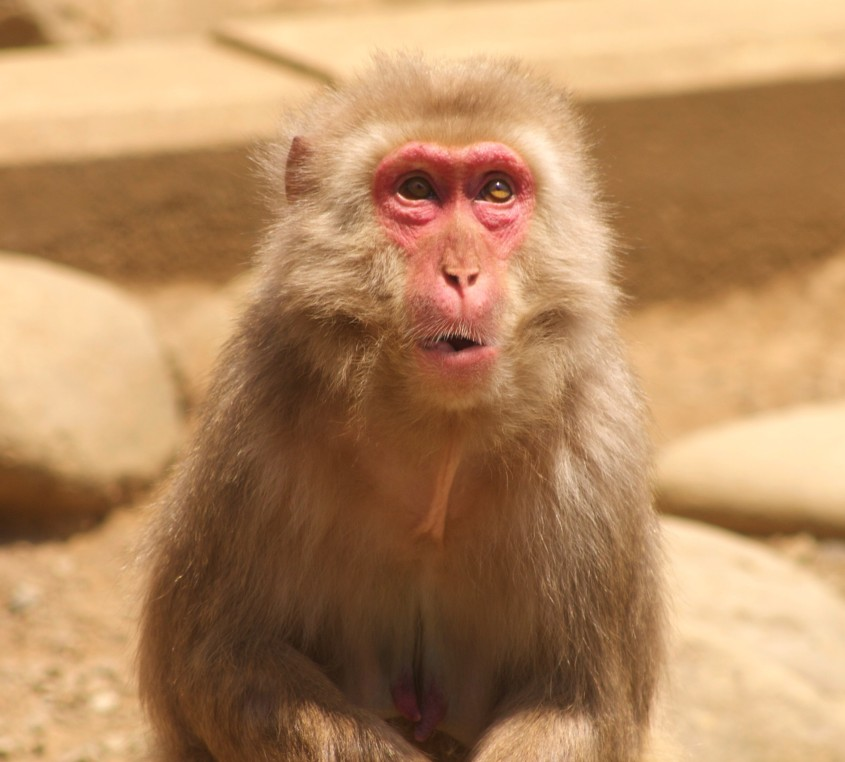 Snow Monkey at Mt. Takao