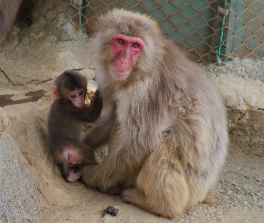 Japanese macaque mom and baby