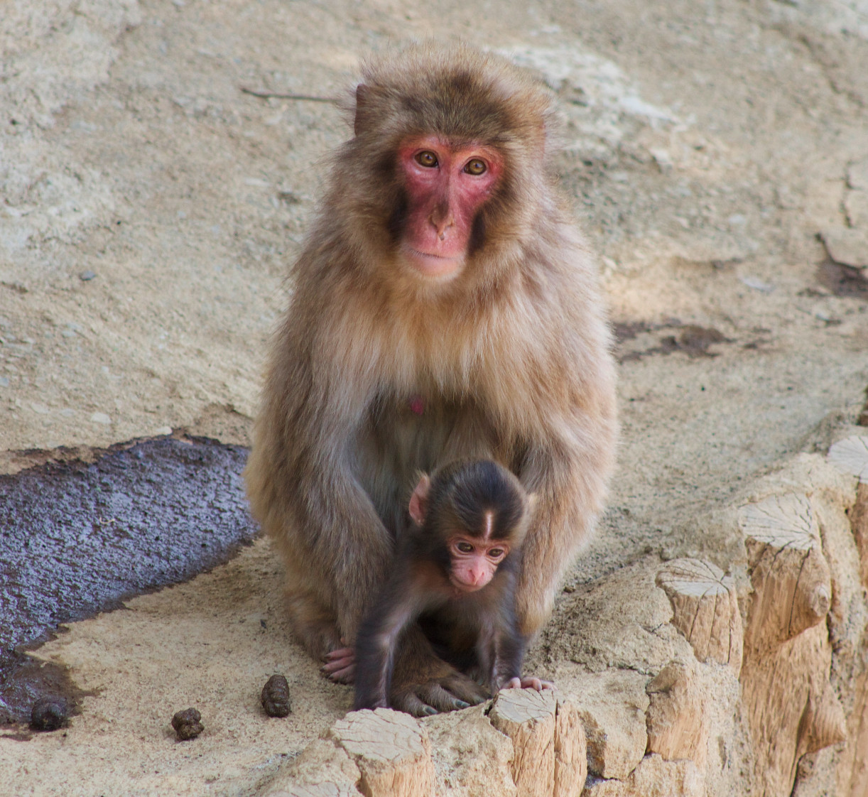 Japanese macaques mom and her baby