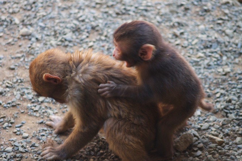 Snow monkey baby and older sibling