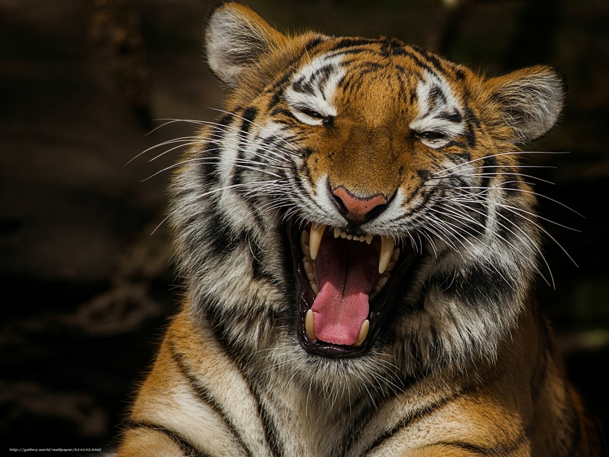 This Is Why You Shouldn't Mess WithTigers