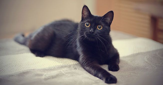Handsome Black Cat