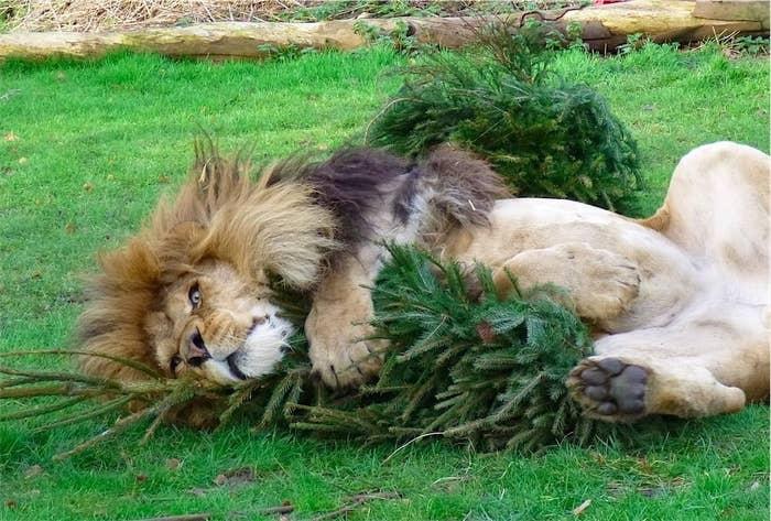 lioncatnip