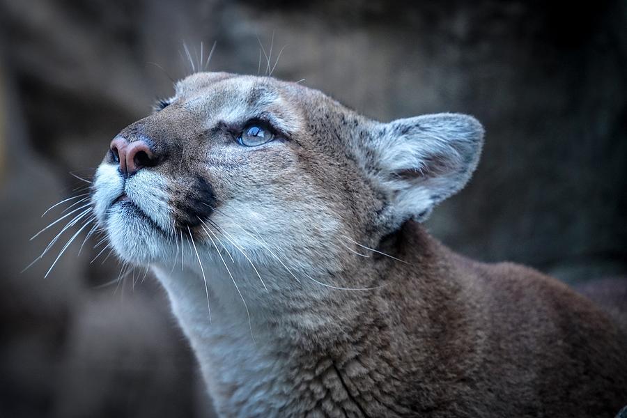 The Majestic Puma