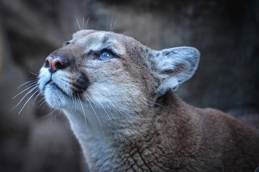 The Majestic Puma