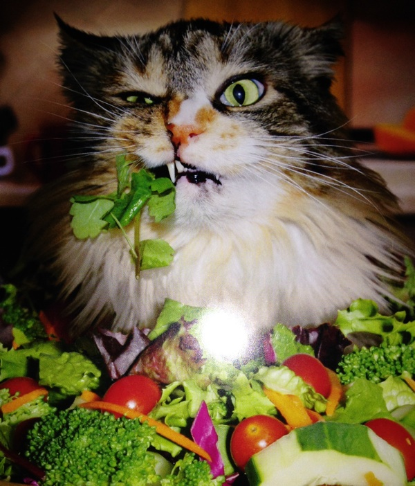 Angry cat eating salad