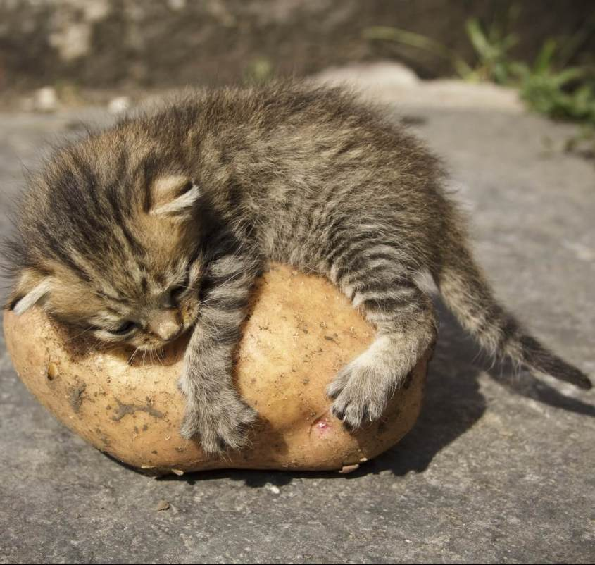 Kitten and potato