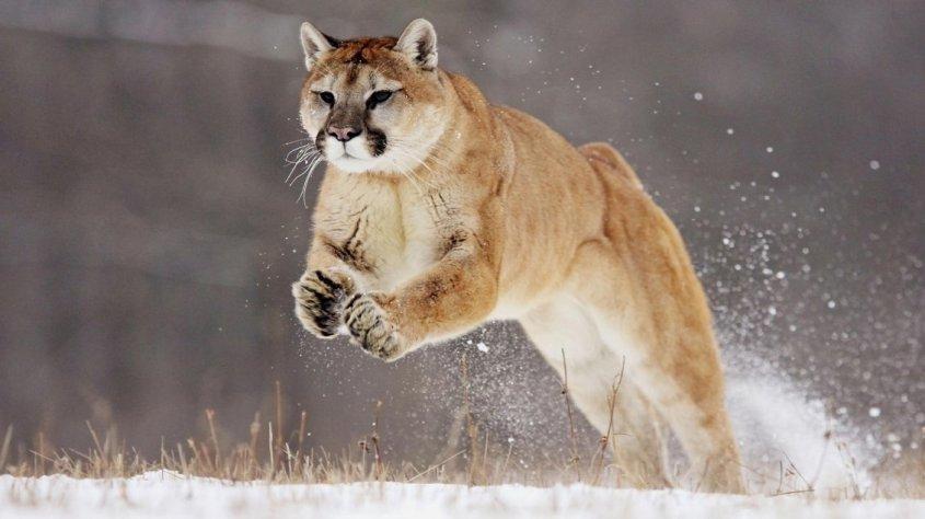 Puma leaping