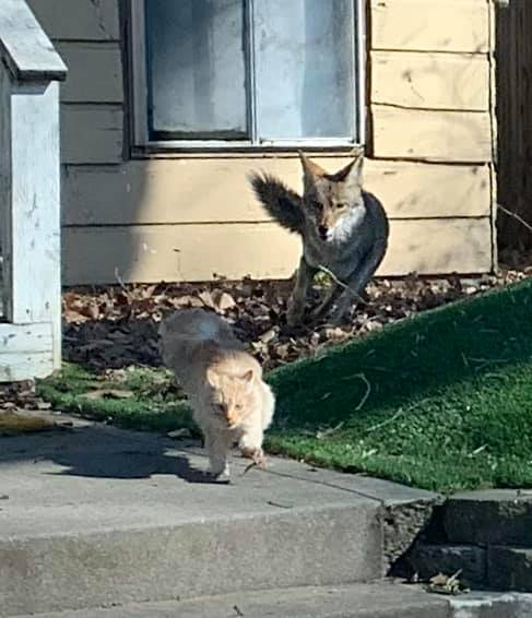 Cat vs Coyotes