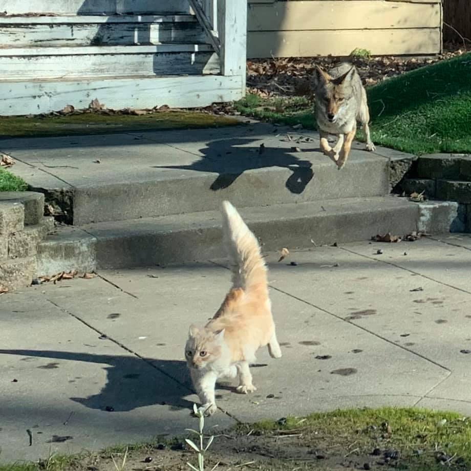 Cat dodges coyotes