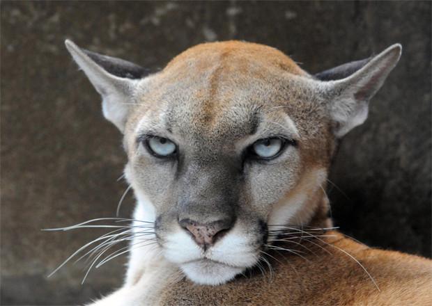 Cougar/Puma