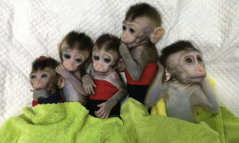 Cloned Monkeys from China