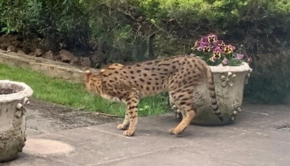 savannahcat