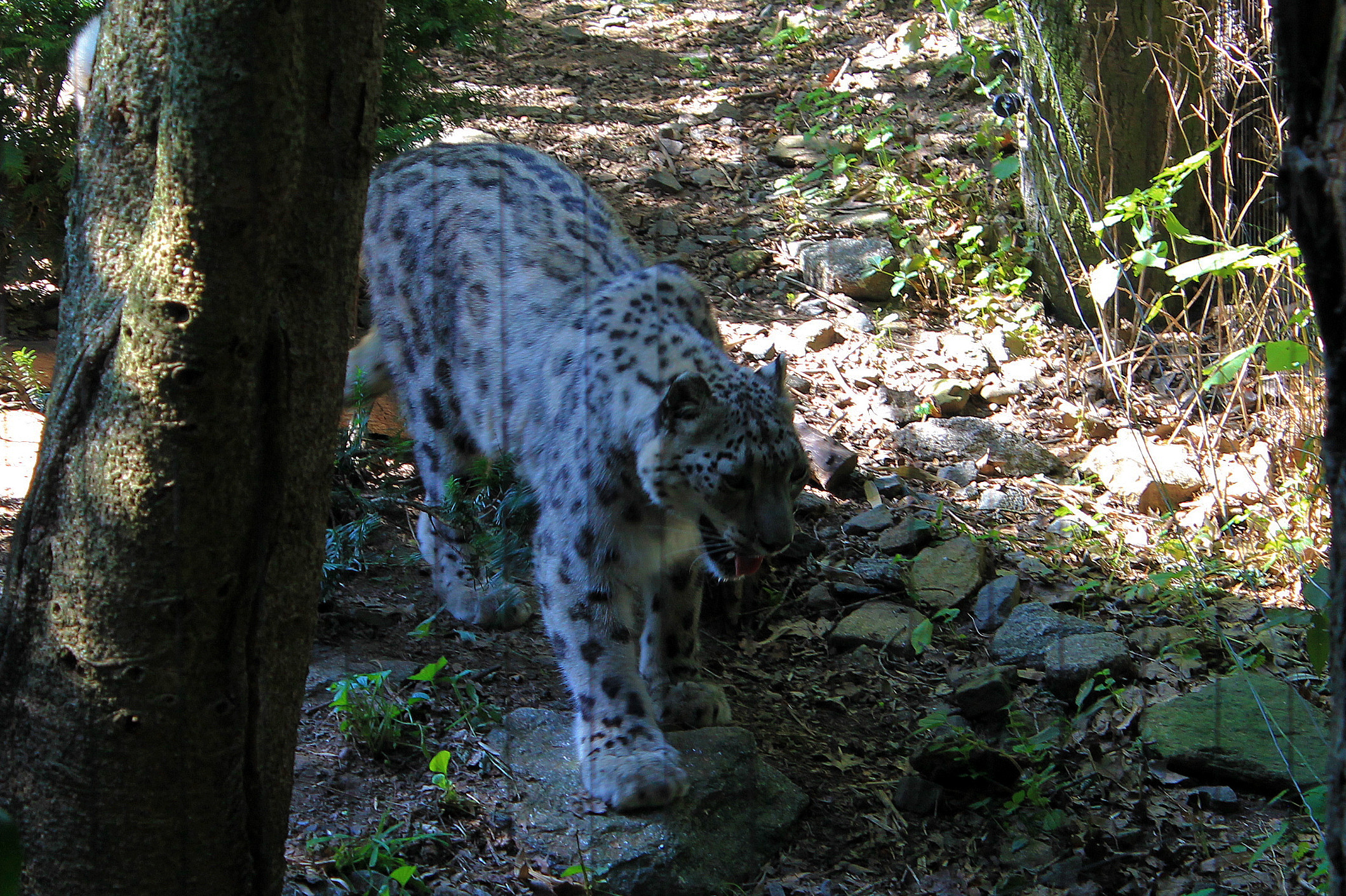 bronxsnowleopard