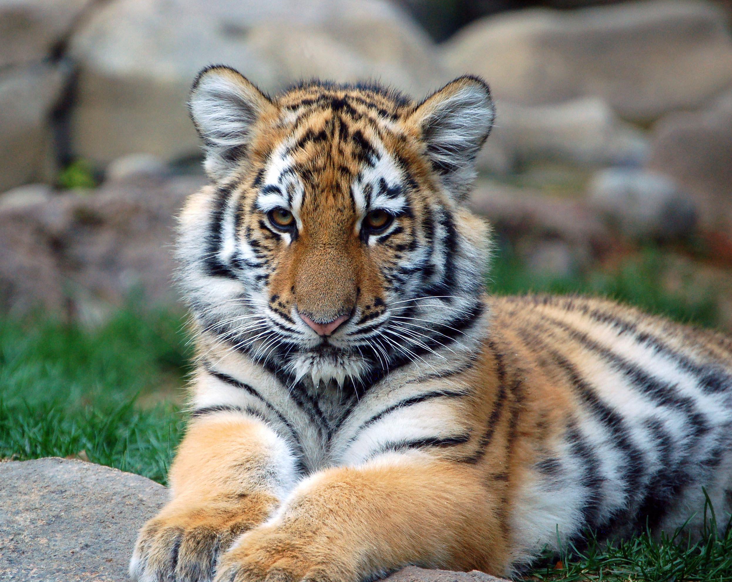 tigercub2