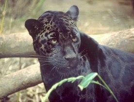 A melanistic jaguar. (Wikimedia Commons)