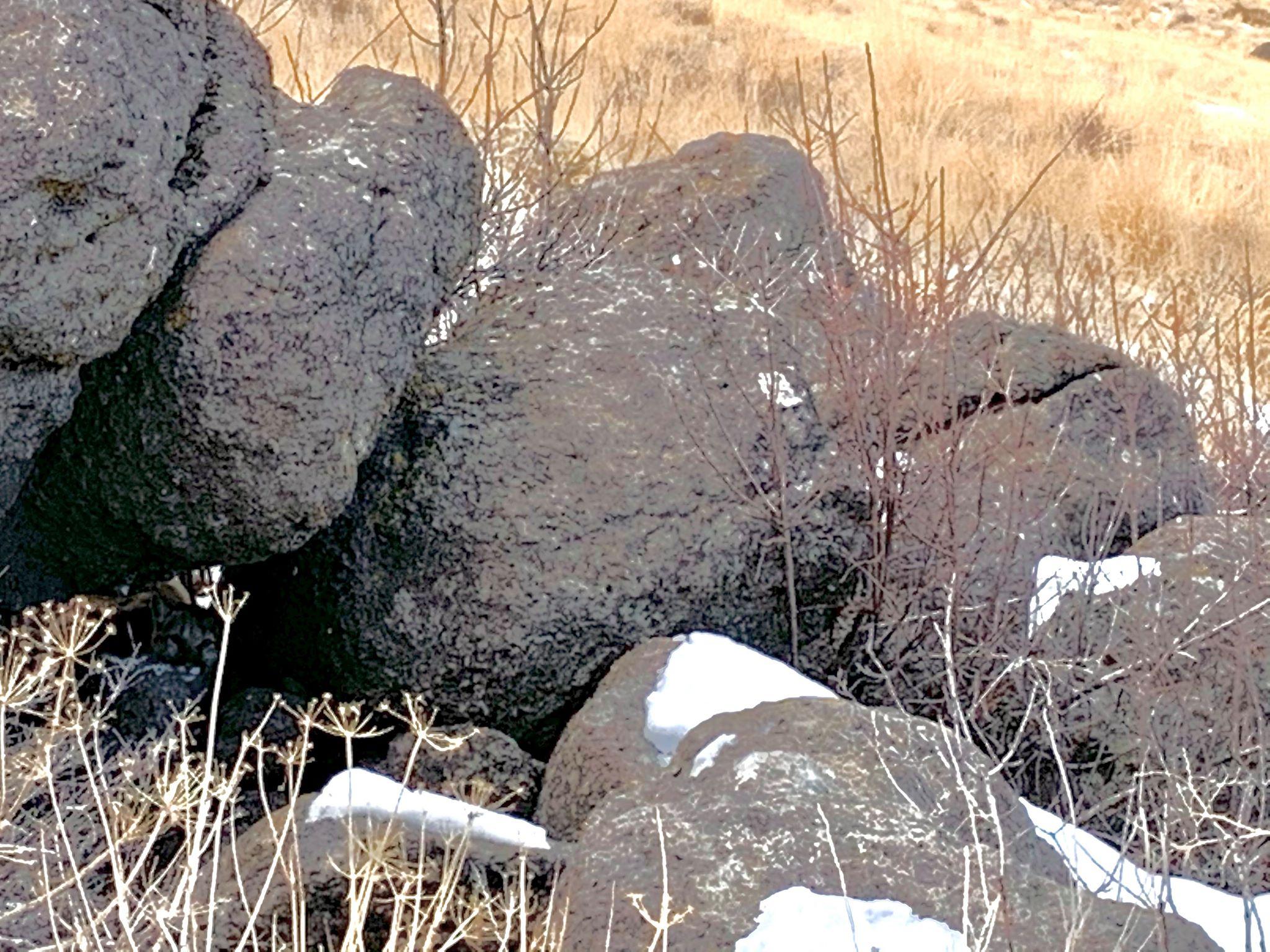 Hidden mountain lion in Nevada