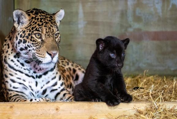 Black Jaguar cub https://app.asana.com/0/1135954362417873/1200379072986594/f Credit: Alma Leaper