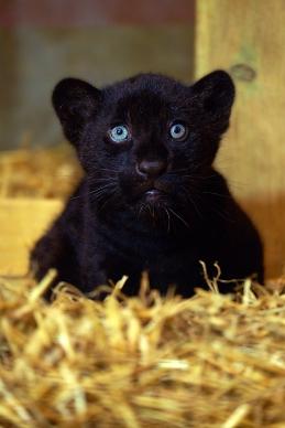Black Jaguar cub https://app.asana.com/0/1135954362417873/1200379072986594/f Credit: Cam Whitnall