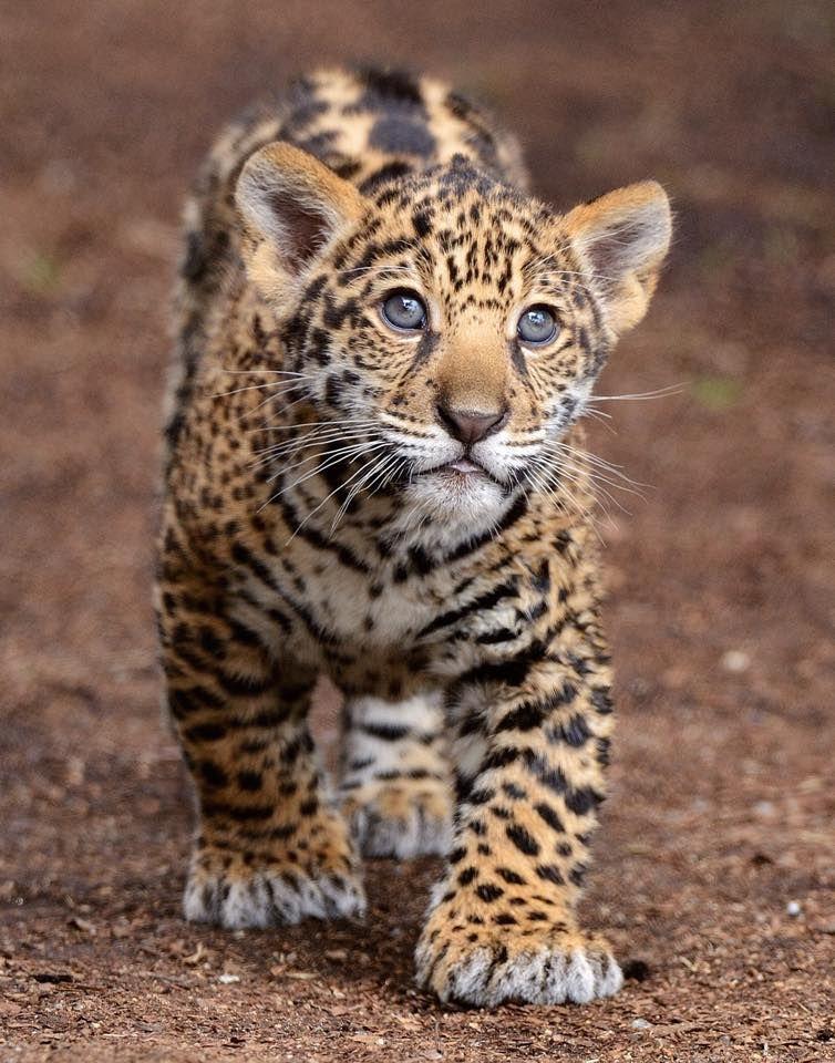 jaguarwiki