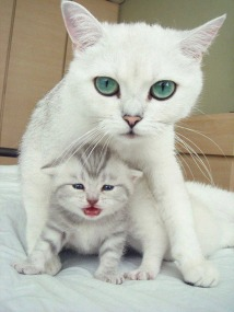 white-cat-baby-with-mother