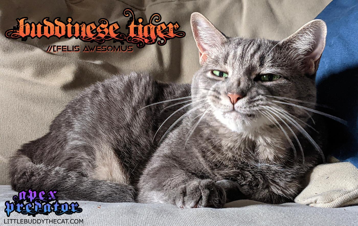 Buddinese Tiger