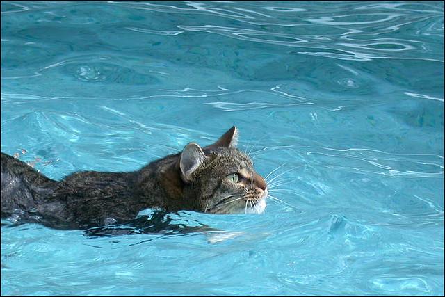 kittyswimming