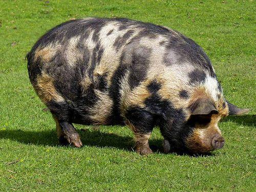 911410d15dad9114e75e8df4ca1a17b7--farm-animals-piggies