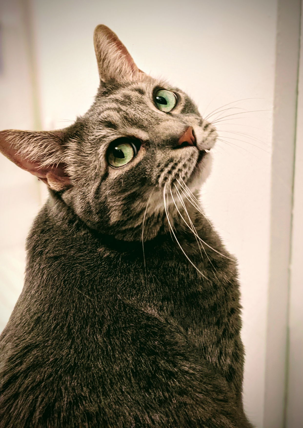 Buddy the Cat: Handsome and Meowscular