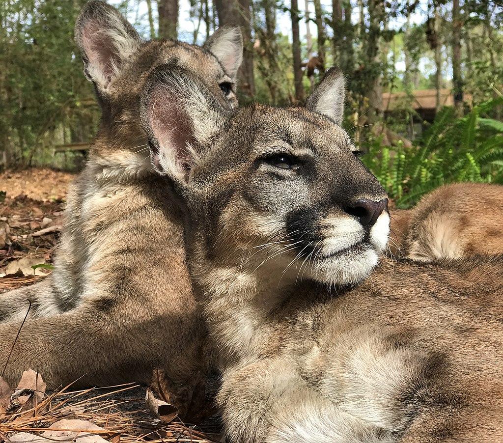 1024px-Florida_panther_kittens