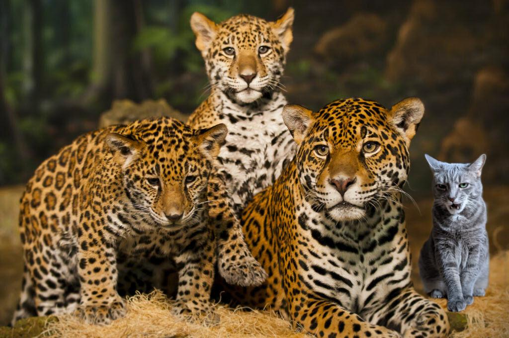budd_and_jaguars