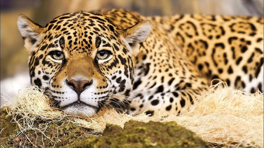jaguar-big-cat